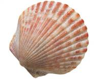 20120926-scallop_shell.jpg